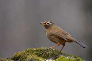 画眉鸟怎么样?画眉鸟的特性介绍
